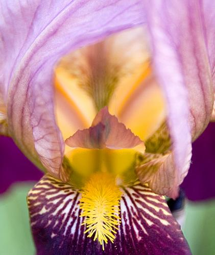 Iris-close-cropped-upload-to-smugmug