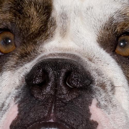 Magnus Bulldog