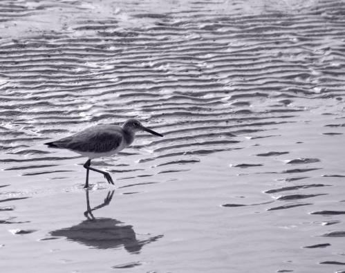 Sandpiper-at-waters-edge-duotone-1-XL