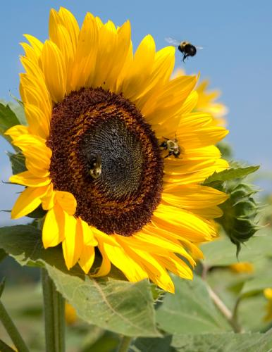 Sunflower-with-bees-for-upload