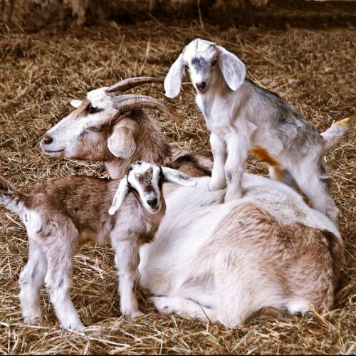Goats with Mama