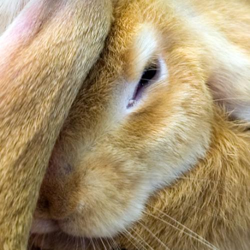 Long Eared Rabbit
